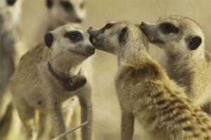 meerkat-team spirit2