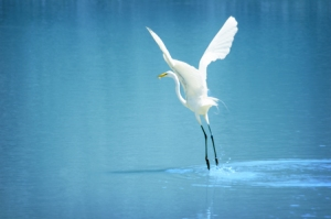 believe71 white bird at take-off)